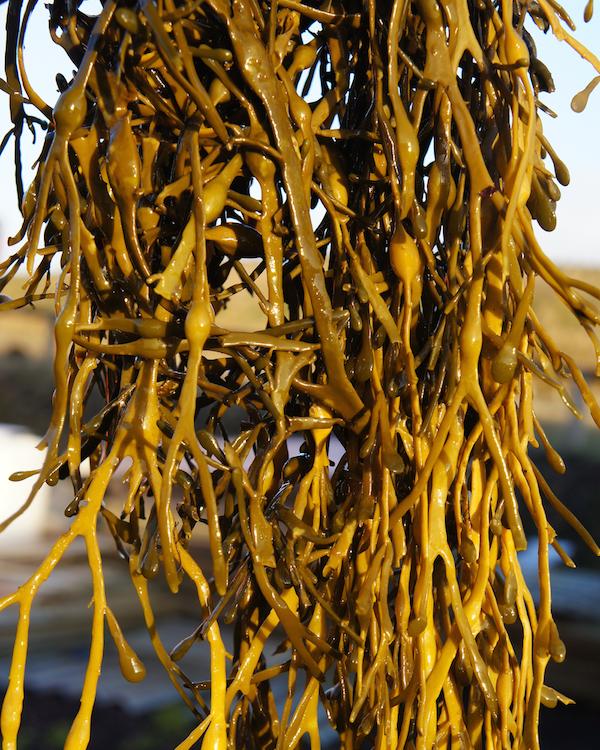 Fresh Asco Seaweed small (002)